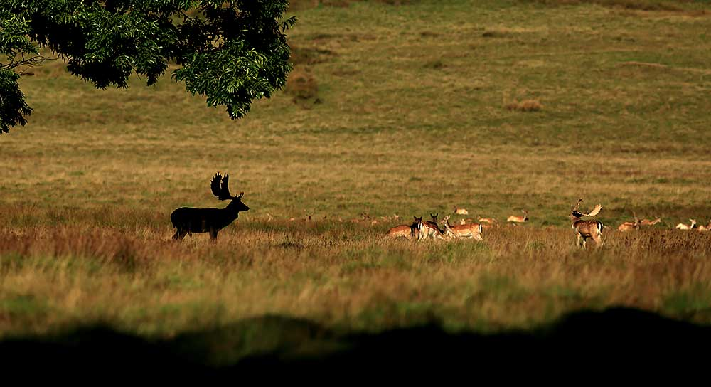 Fallow Deer, Petworth Park by Bret Charman