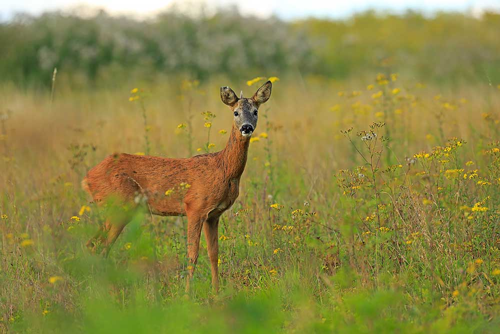 Roe Deer, Hampshire by Bret Charman