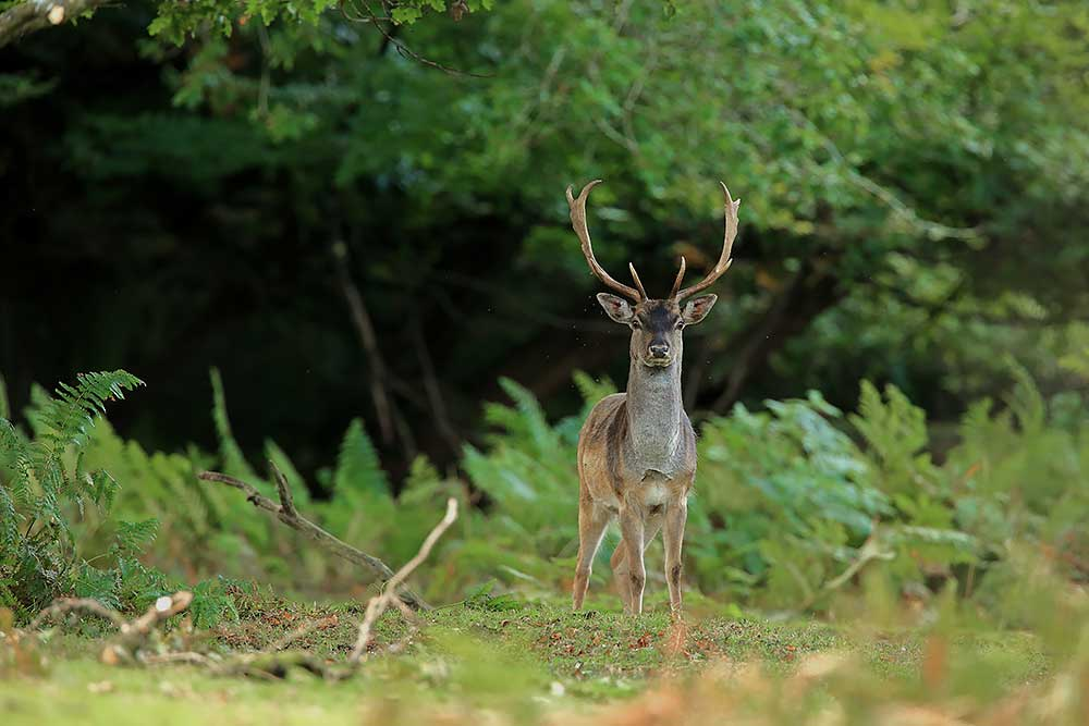 Fallow Deer, New Forest by Bret Charman