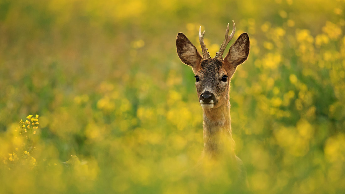 Roe deer buck in yellow oilseed crop