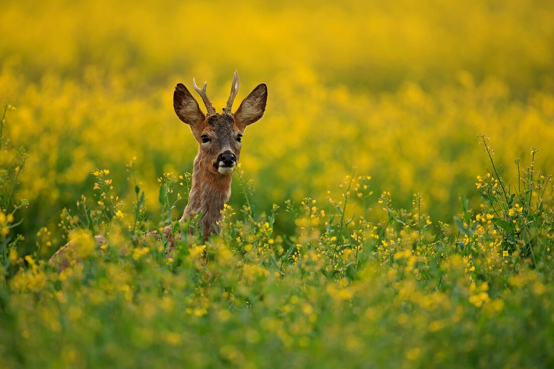 Roe deer in yellow crop