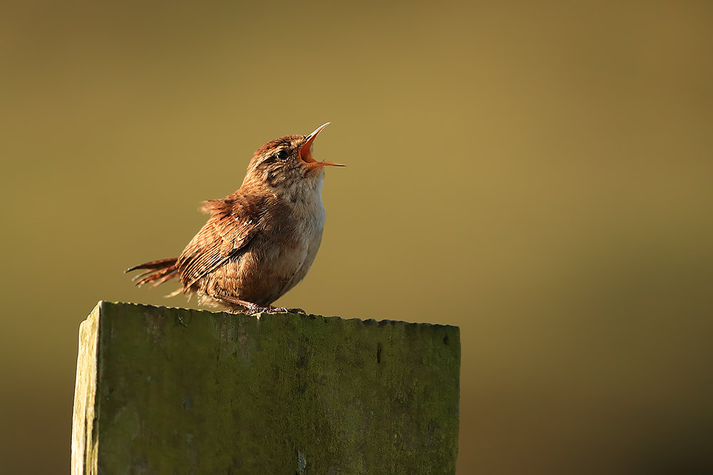 Wren singing at sunrise - Bret Charman
