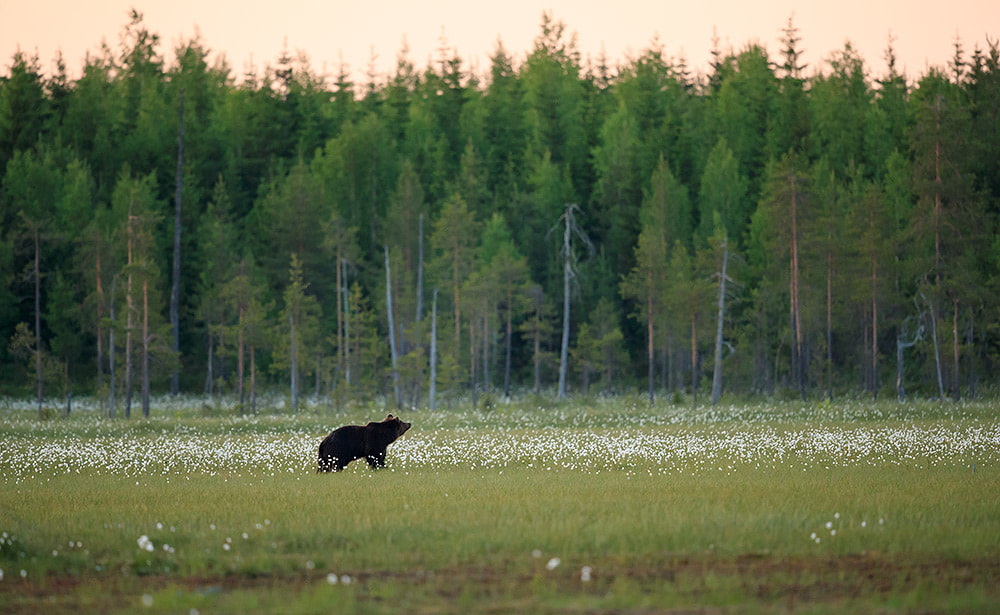 A bear wanders across a clearing in Finland's boreal forests