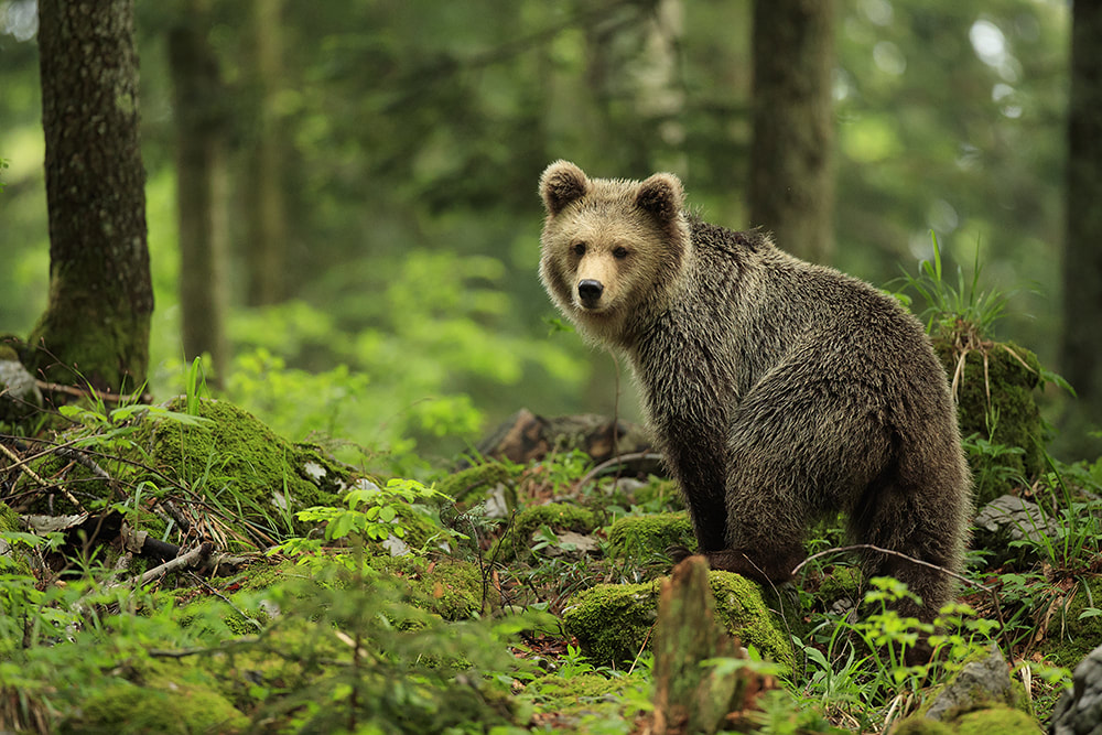 Brown bear in the forest of Slovenia