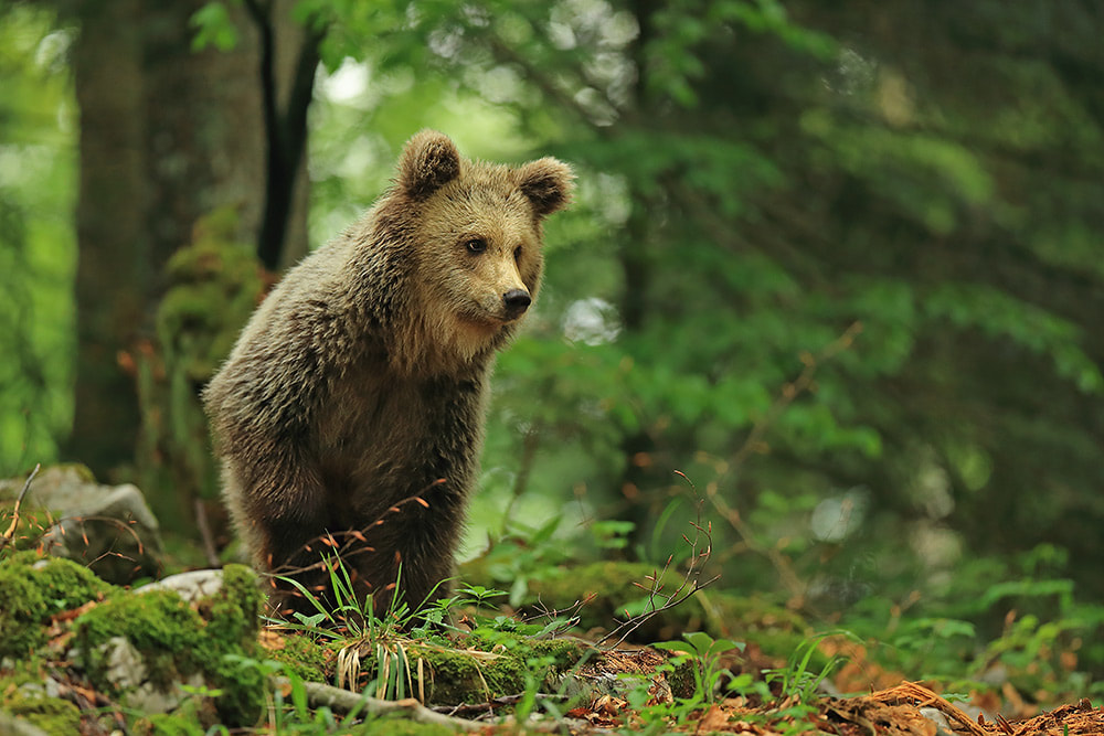 Standing brown bear in Slovenian forest