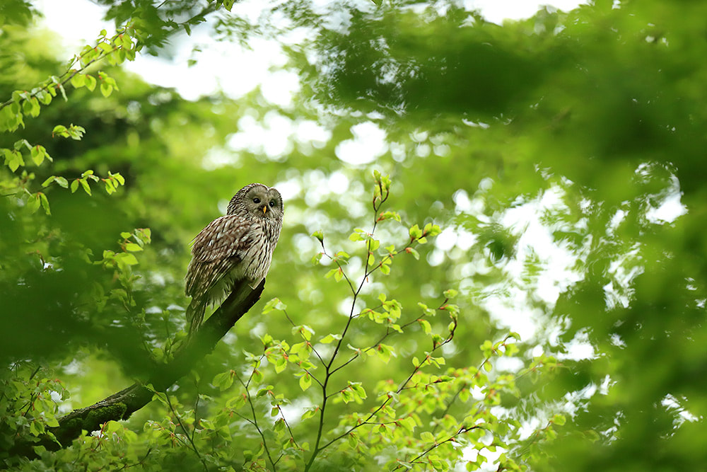 Ural owl in a beech forest in Slovenia