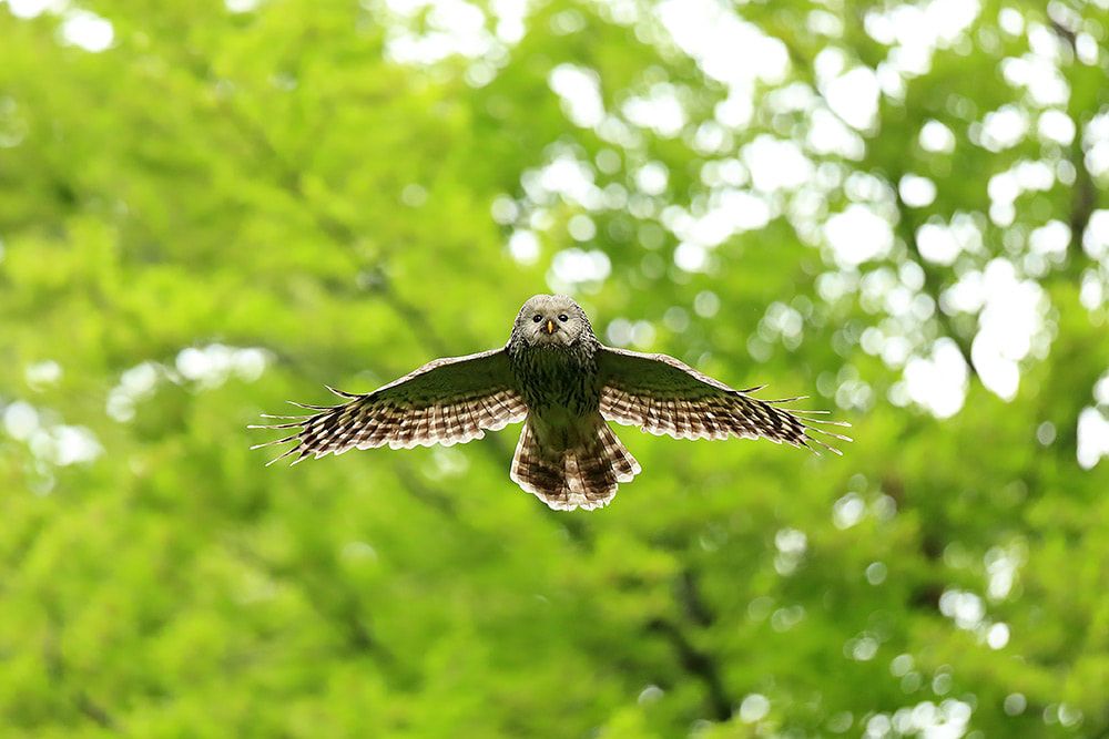 Ural owl in flight