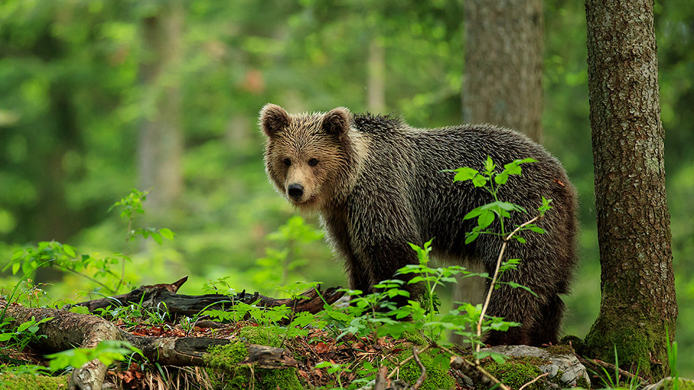 Brown bear in the trees