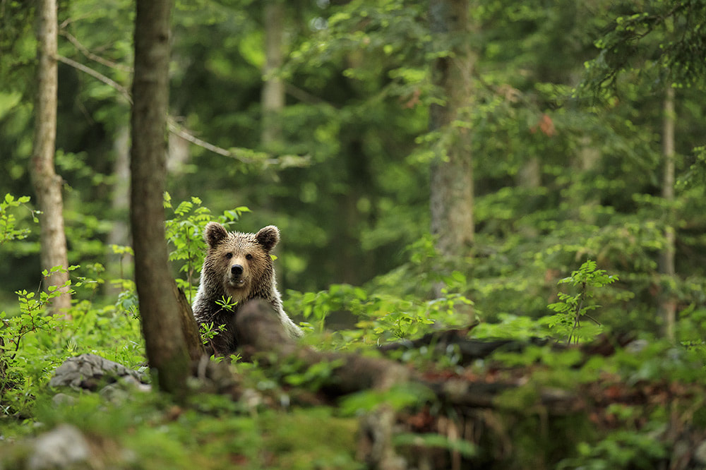 Brown bear in Slovenia's forest landscape