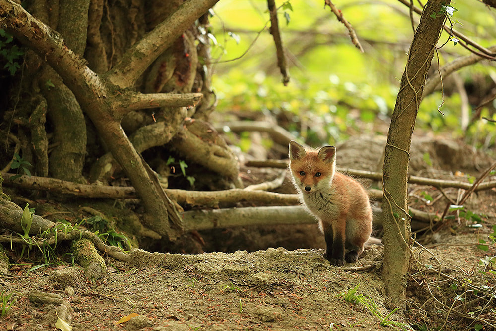 Red fox cub by earth, Hampshire, UK