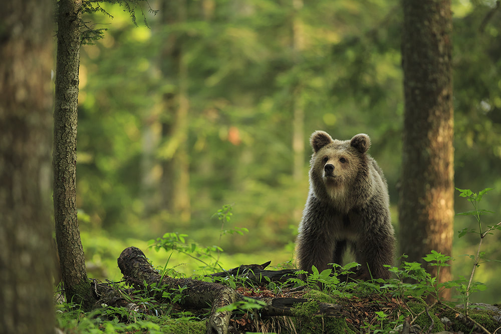Brown bear in evening sun, Slovenia