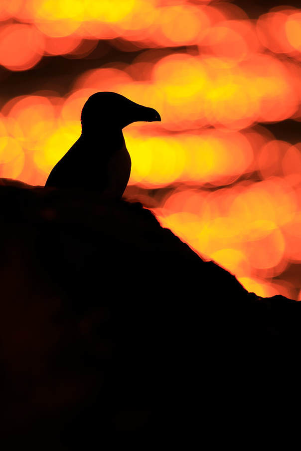 Backlit razorbill as the sunrise illuminates the sea off Skomer Island