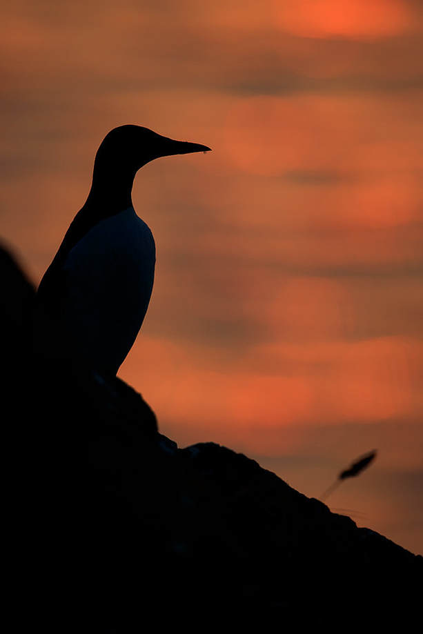 Guillemot silhouette with the run rise behind