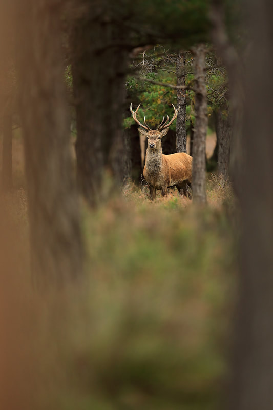 PictureRed deer stag in pines, New Forest National Park by Bret Charman