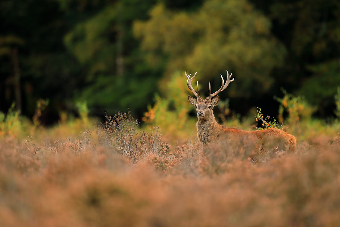 Red deer stag, New Forest National Park by Bret Charman