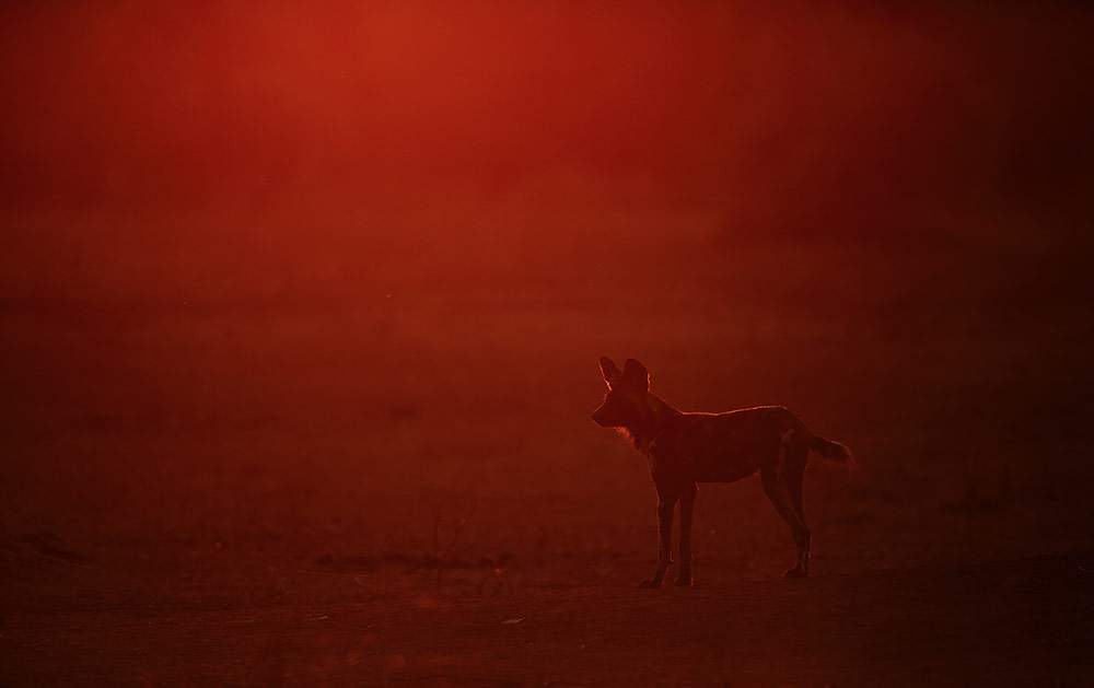 Wild dog sunrise, Mana Pools NP, Zimbabwe