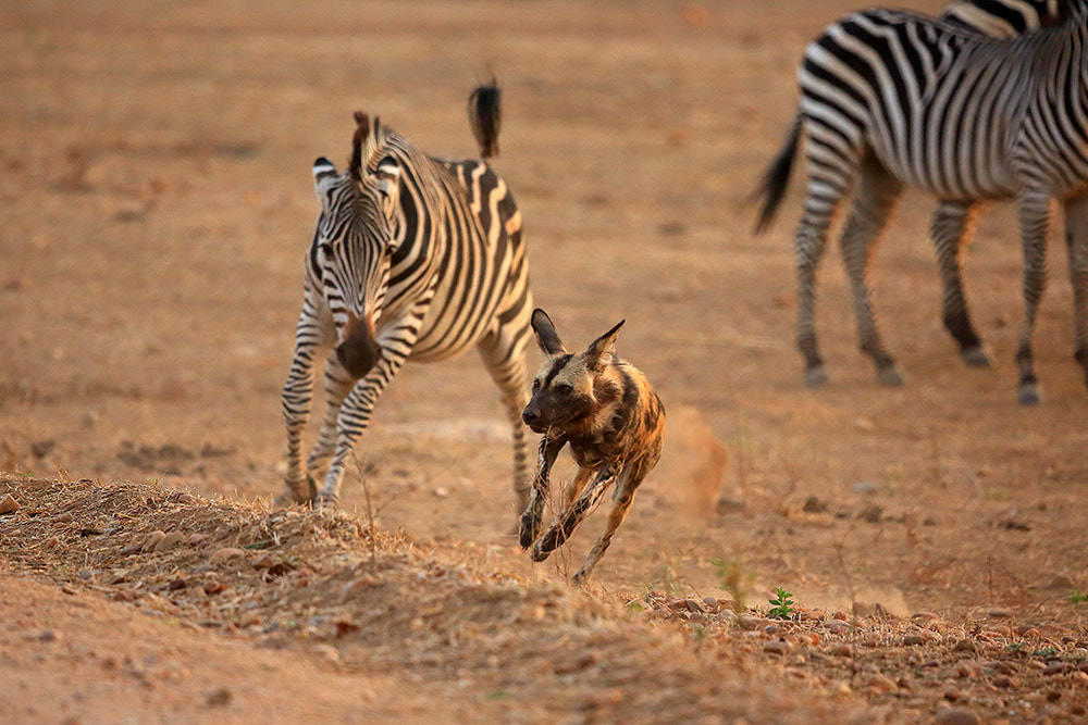 Zebra chasing off a curious painted wolf, Mana Pools NP, Zimbabwe