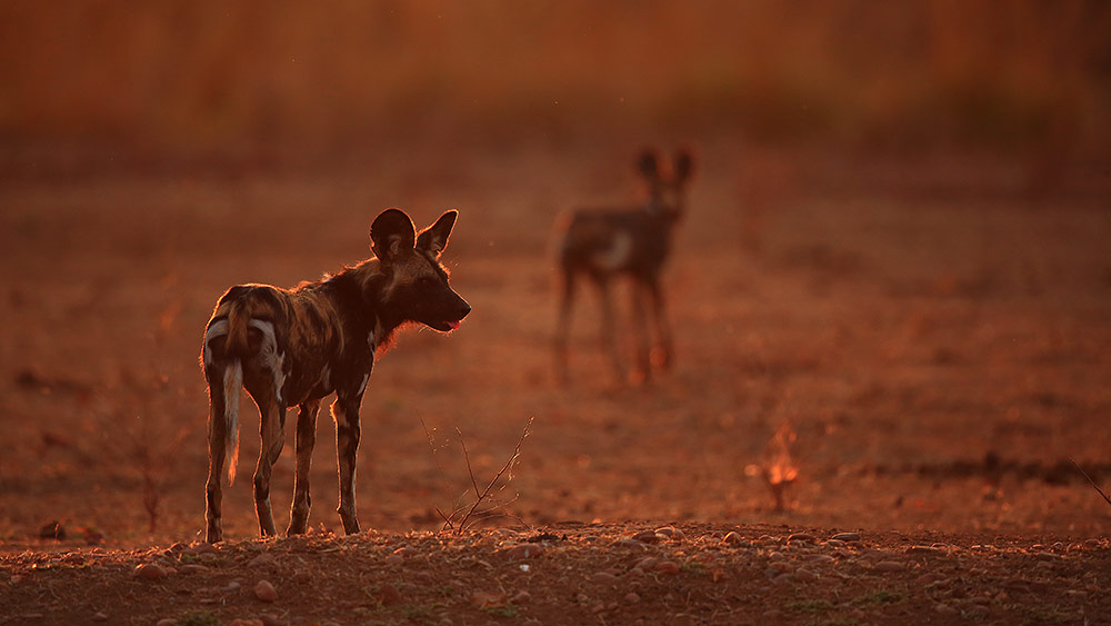 African wild dogs at sunrise in Mana Pools NP