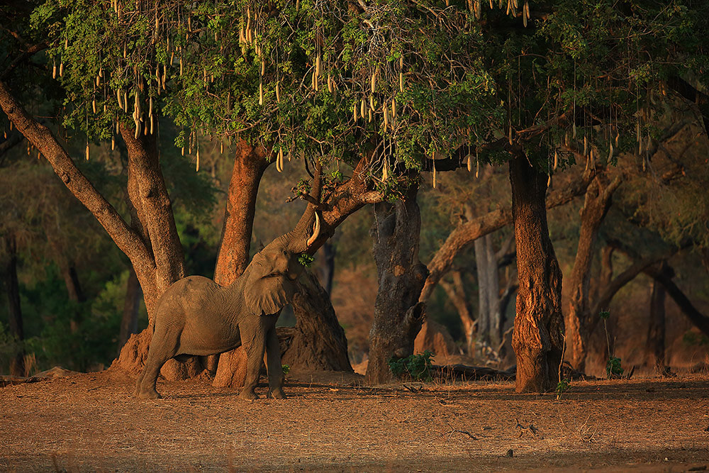 Bull elephant feeding on sausage tree, Mana Pools NP