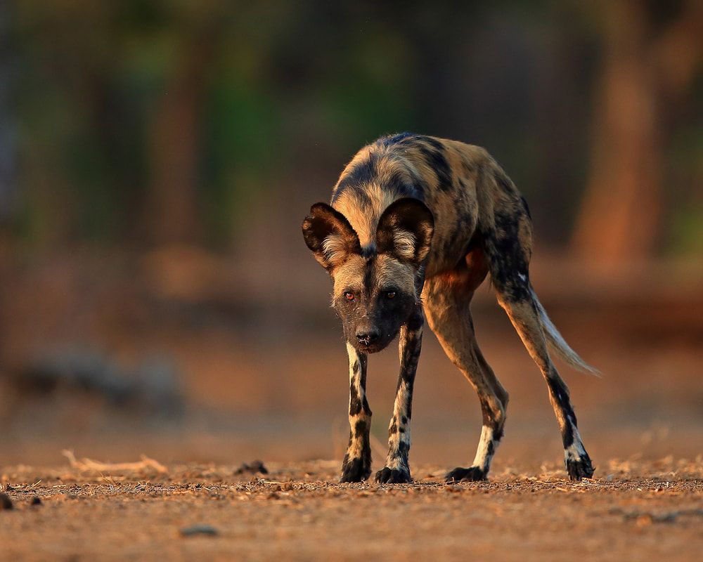 Wild dog portrait, Mana Pools NP