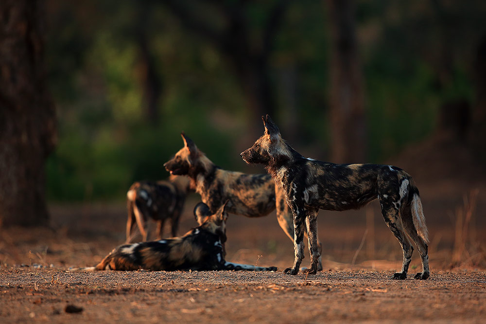 Painted wolves of Mana Pools NP, Zimbabwe