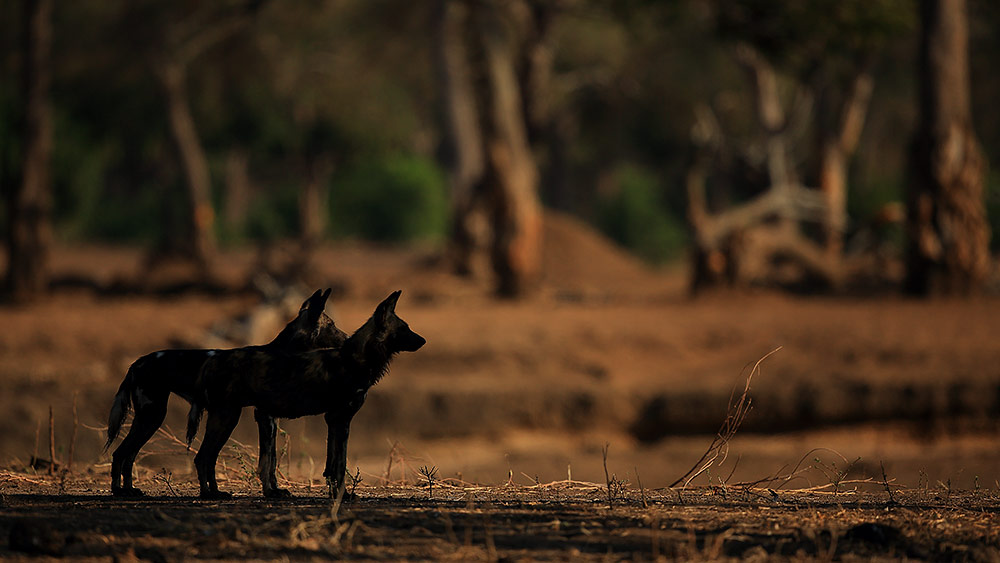 Wild dogs in the shade of a tree, Mana Pools NP