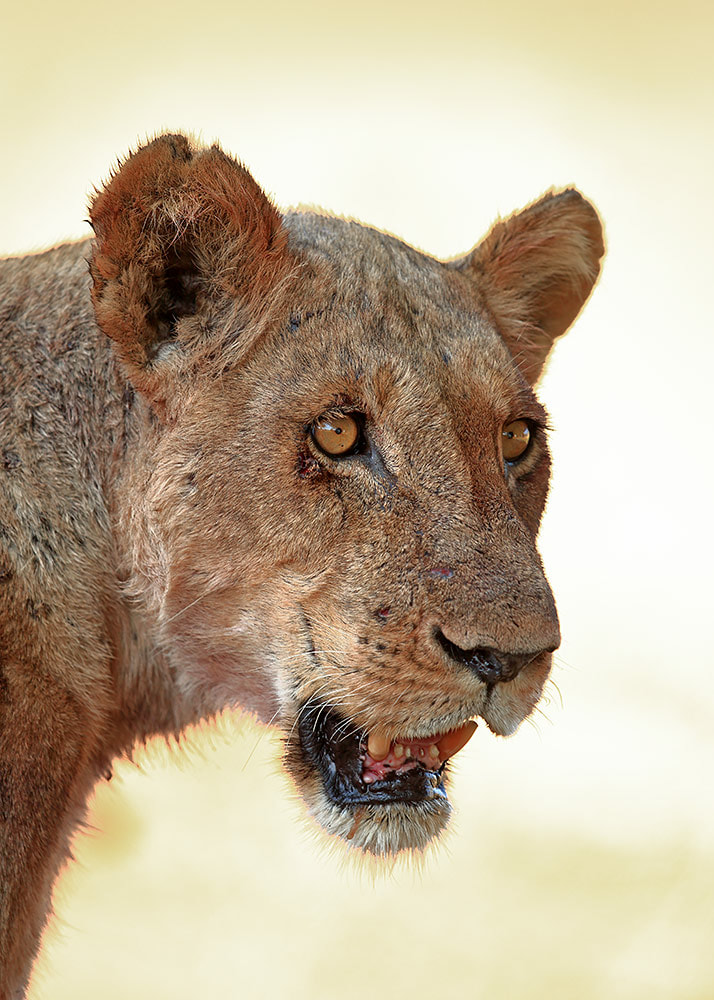 Lioness in Mana Pools NP