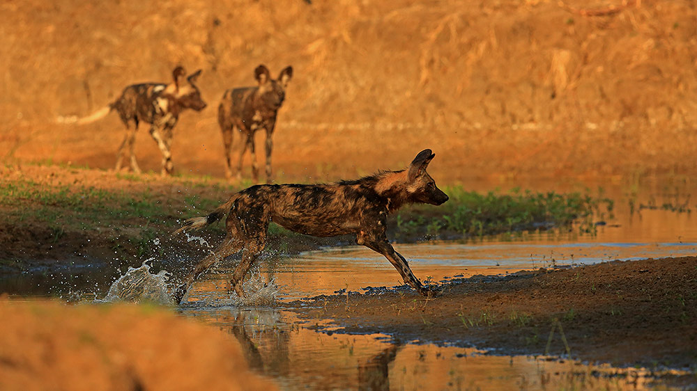 Wild dog running through water in Mana Pools NP, Zimbabwe