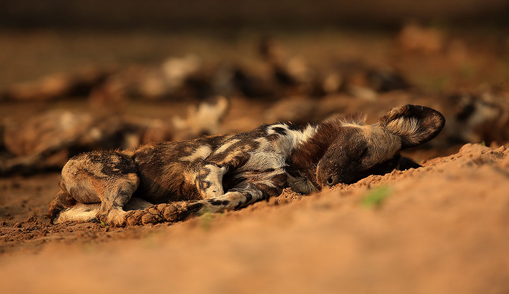 Painted wolf fast asleep, Mana Pools National Park (Bret Charman)