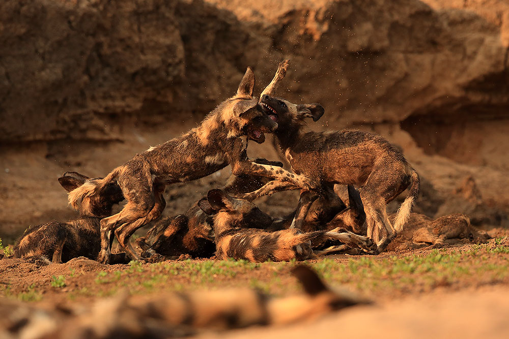 Playing painted wolf puppies, Mana Pools National Park (Bret Charman)