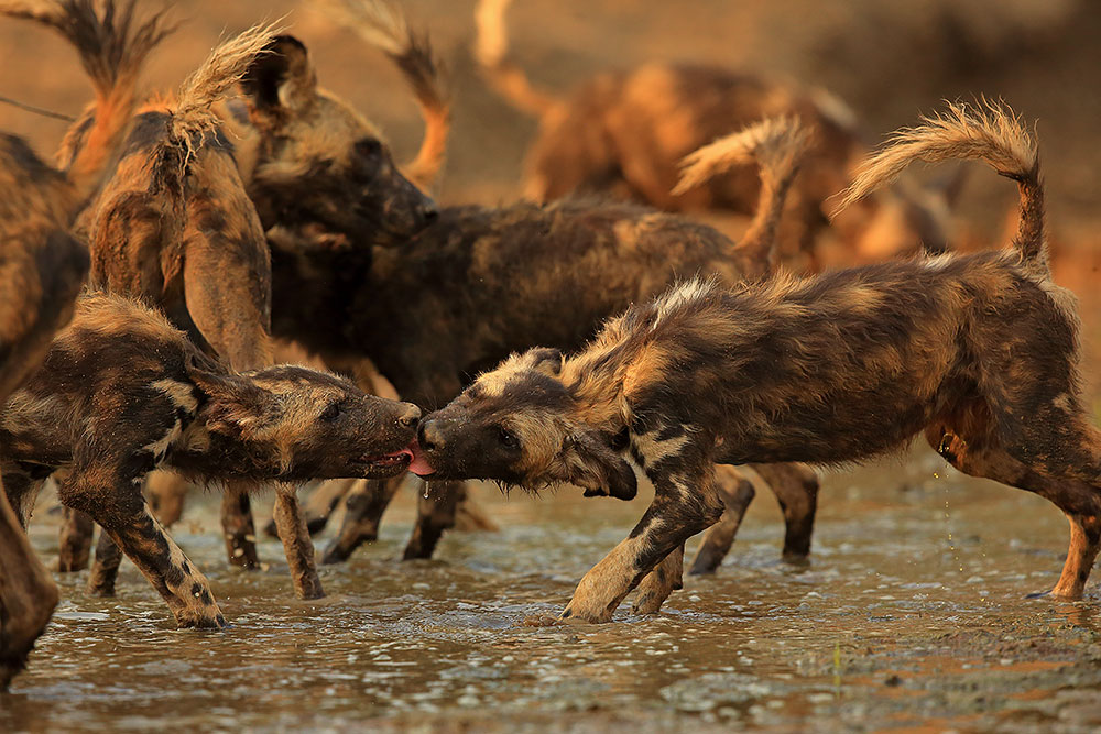 African wild dog puppies greet each other in shallow pool, Mana Pools National Park, Zimbabwe (Bret Charman)