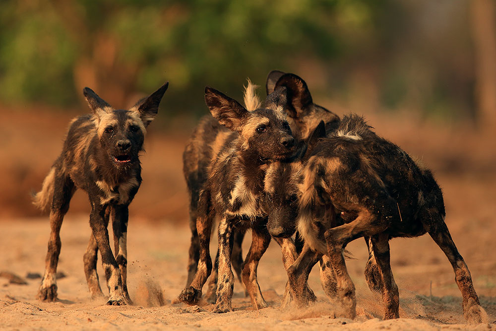 Painted wolf pups bonding, Mana Pools National Park (Bret Charman)