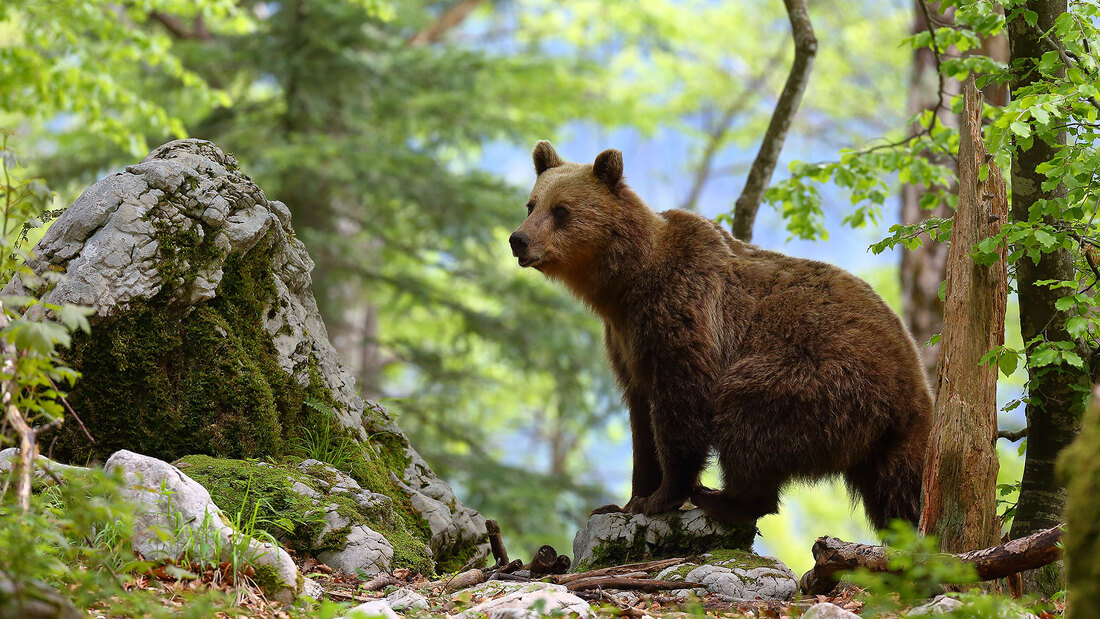 Brown bear, Slovenia (Bret Charman)
