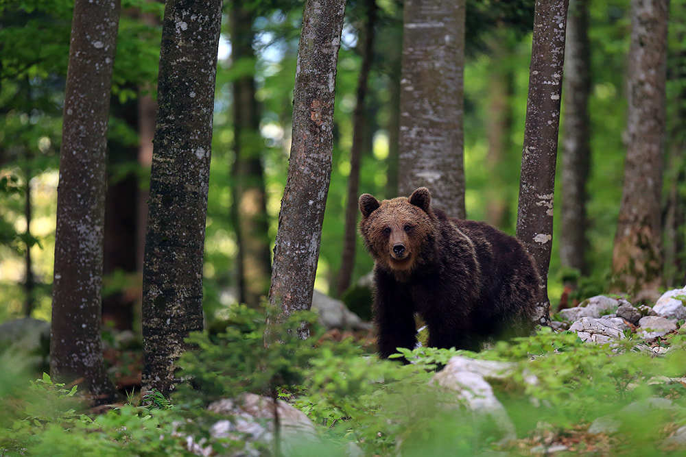 Brown bear in the forest, Slovenia (Bret Charman)