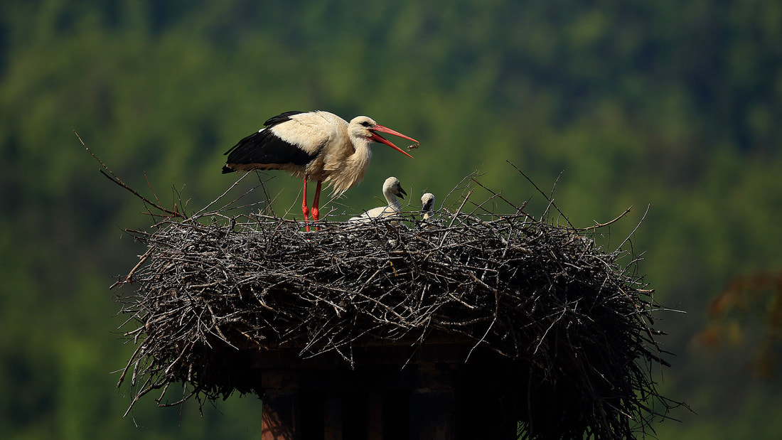 White stork on nest with chicks, Slovenia (Bret Charman)