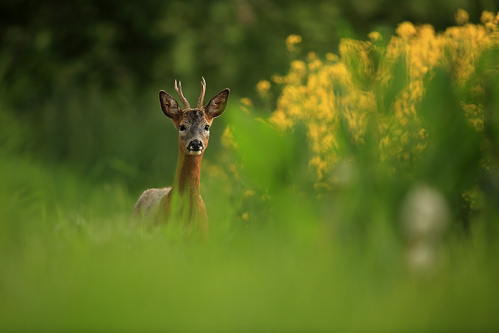 Roe deer buck, Hampshire, South Downs National Park (Bret Charman)