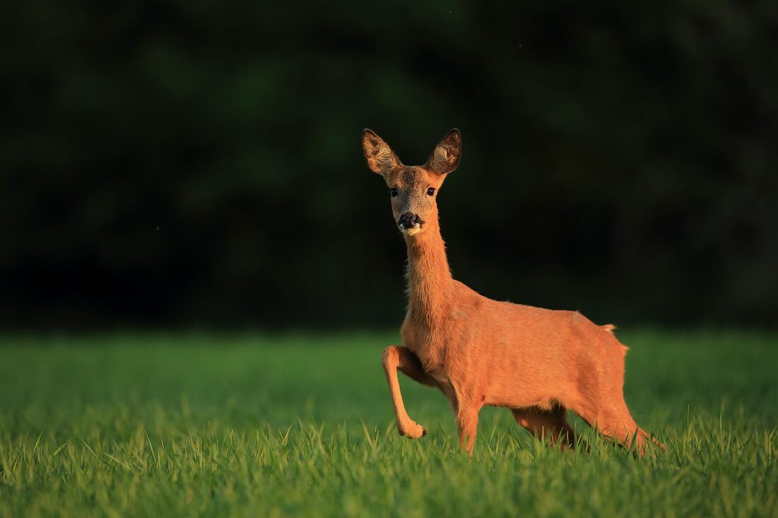 Roe deer, Hampshire, South Downs National Park (Bret Charman)