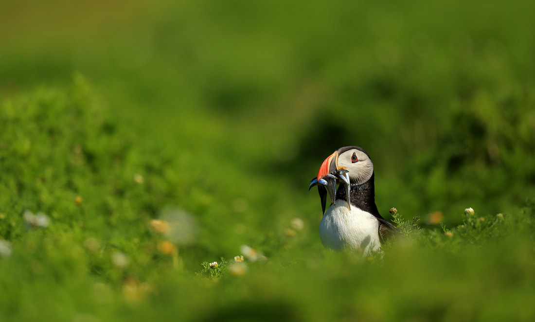 Puffin by Bret Charman