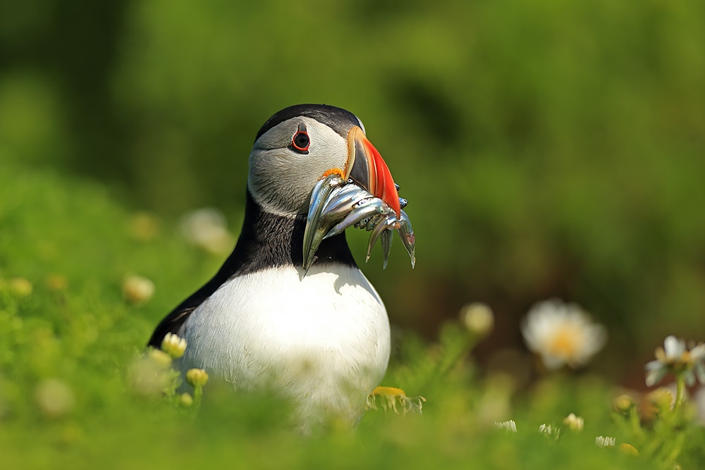 Puffin with a beak full of sand eels - Bret Charman