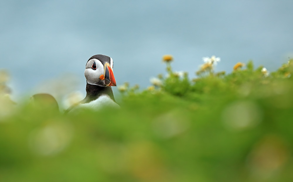 Puffin in wild flowers by Bret Charman