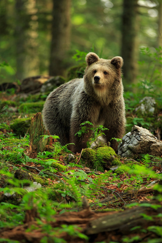 Portrait of a brown bear in Slovenia