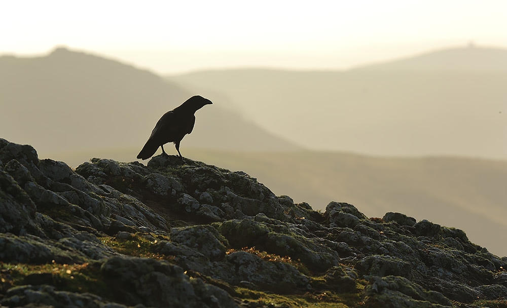 Raven on the cliffs of Skomer Island - Bret Charman