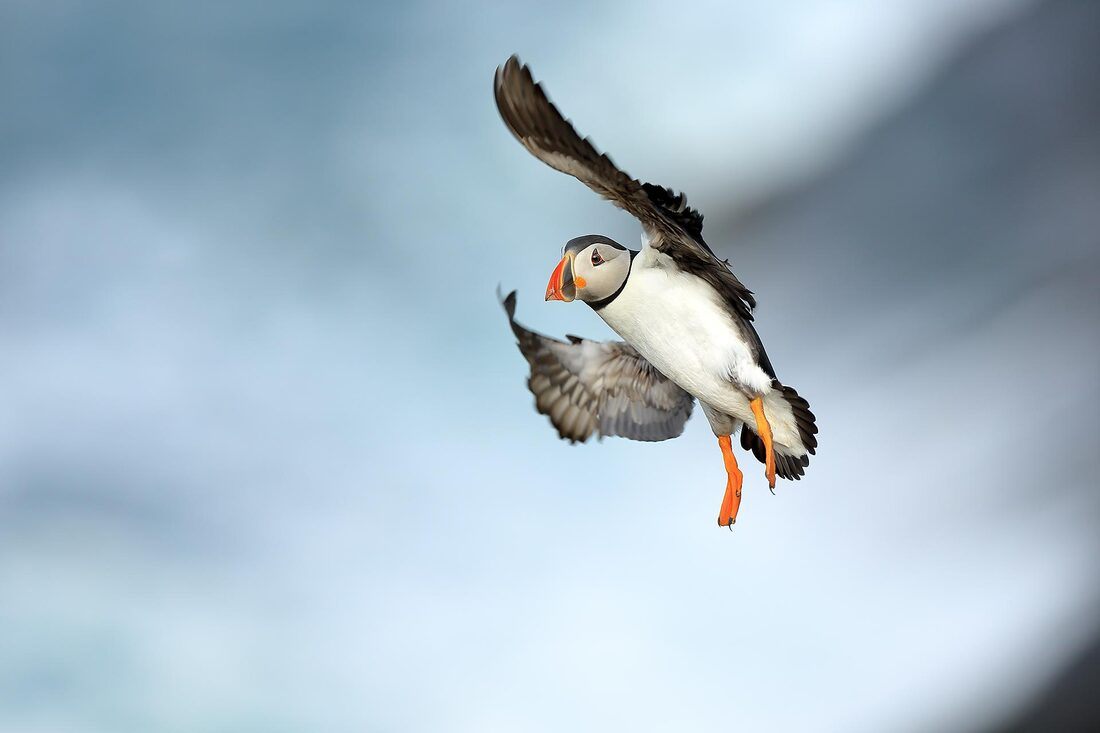Puffin flying over the sea - Bret Charman