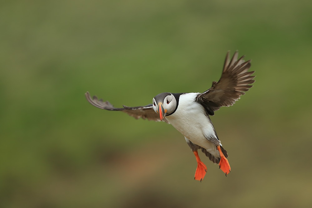 Puffin in flight - Bret Charman