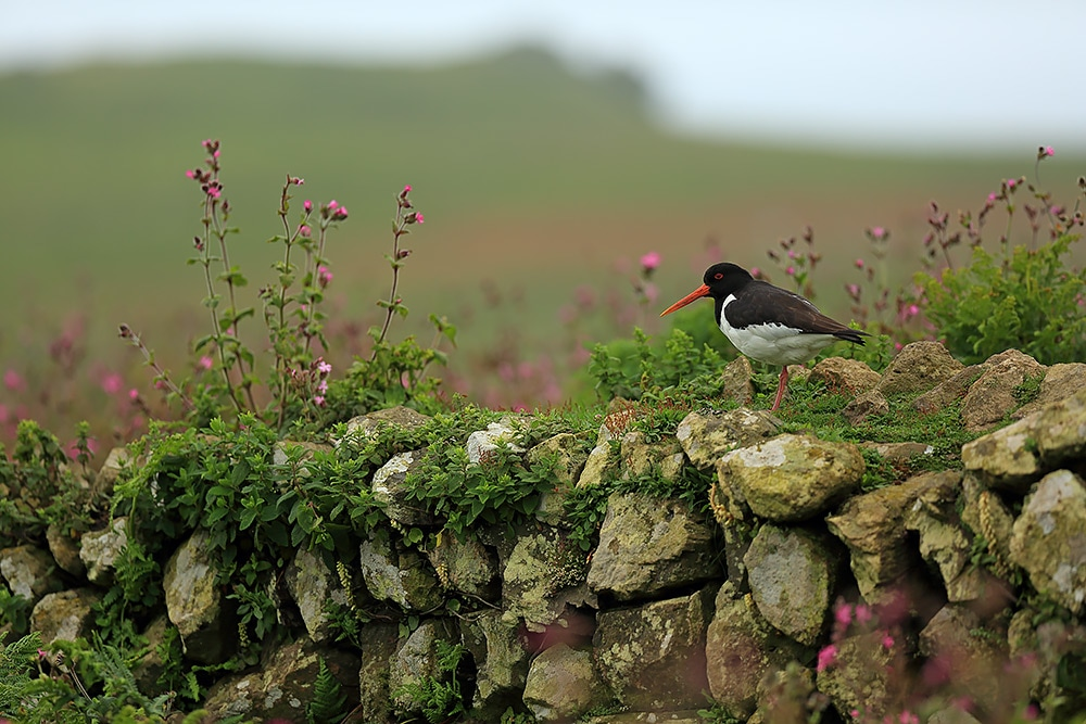Oystercatcher on a dry stone wall - Bret Charman