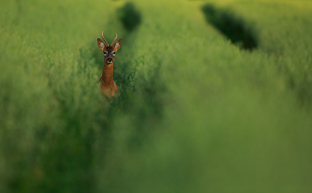 Roe deer buck in field of oats, Hampshire, South Downs National Park (Bret Charman)