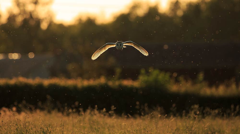 Barn owl hunting over meadow in Hampshire