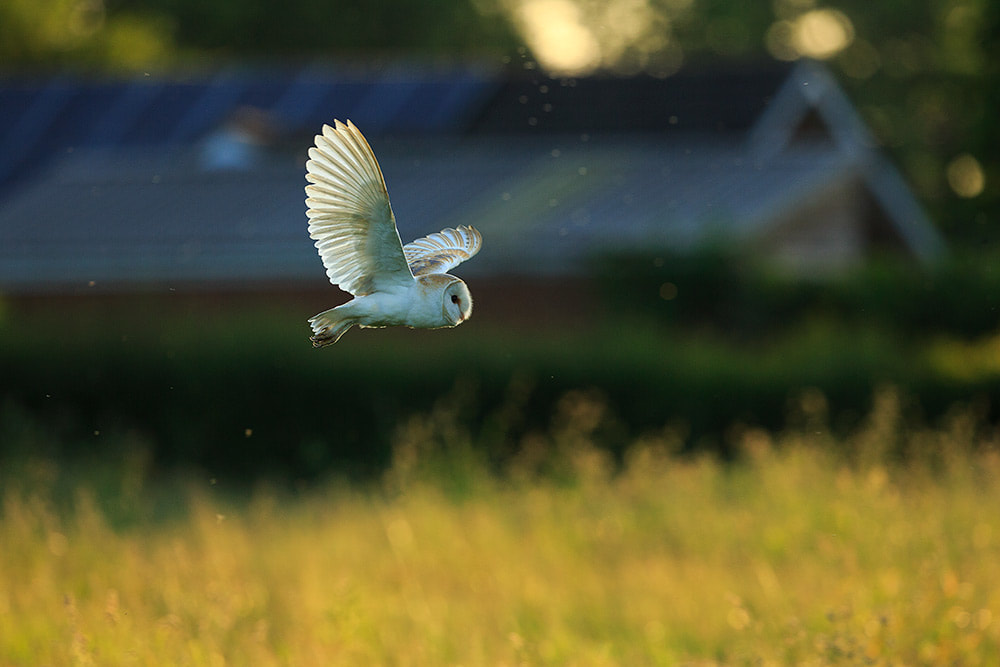 Barn owl flying across a meadow at sunset