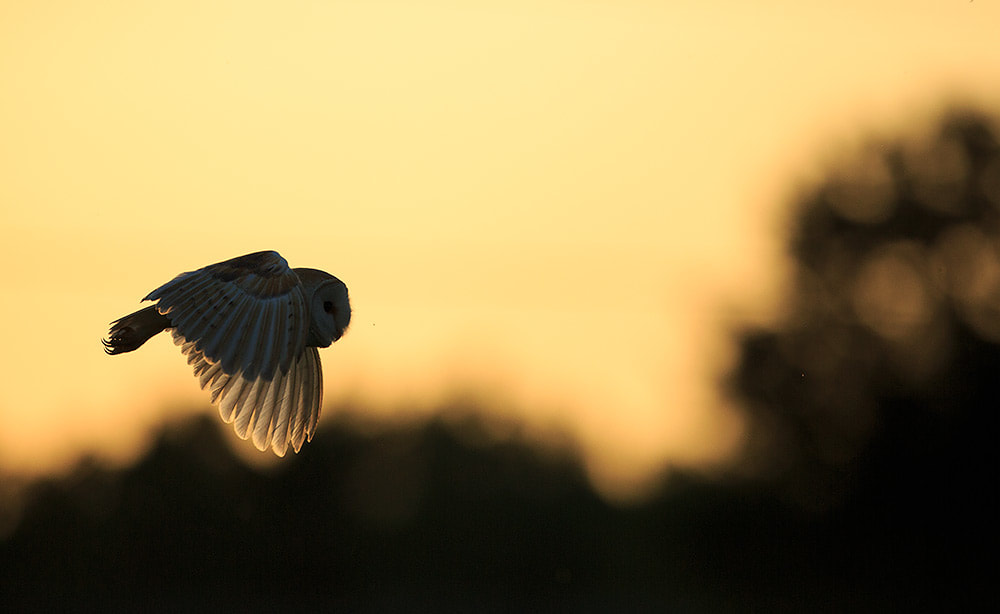Barn owl backlit by the setting sun in Hampshire