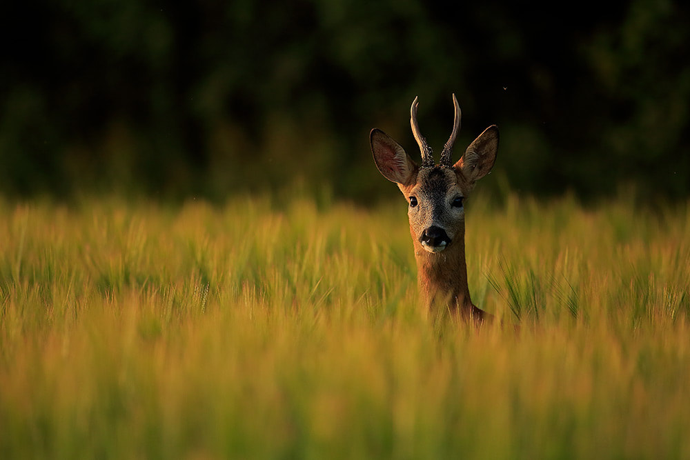 Roe deer buck in barley, Hampshire, South Downs National Park (Bret Charman)